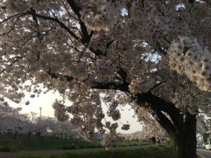 別邸八橋桜まつり